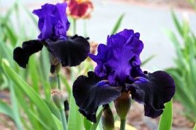 цветы, ирисы, фиолетовый, черный, лепестки