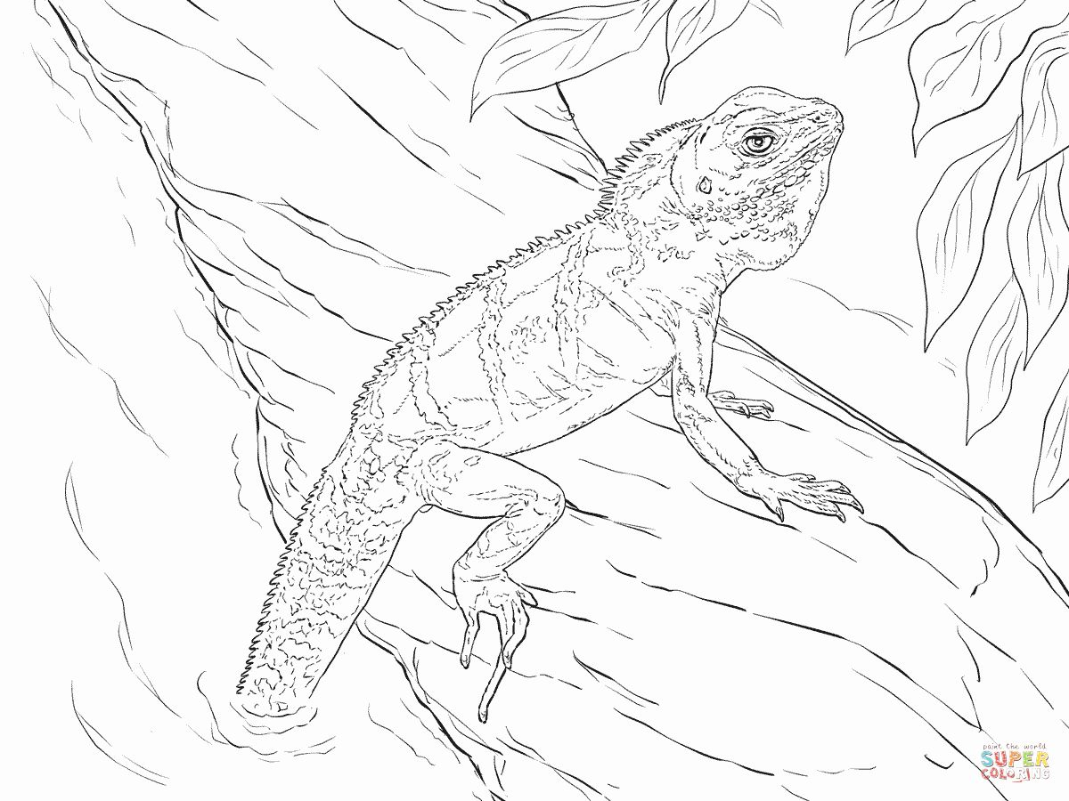 Bearded Dragon Coloring Page Unique Realistic Chinese Water Dragon Coloring Page Dragon Coloring Page Bearded Dragon Colors Water Dragon