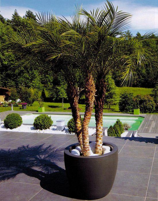 palmier install confortablement dans un pot gallia. Black Bedroom Furniture Sets. Home Design Ideas