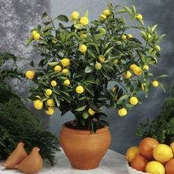 C tricos en macetas tips y cuidados jardineria for Arboles frutales en maceta