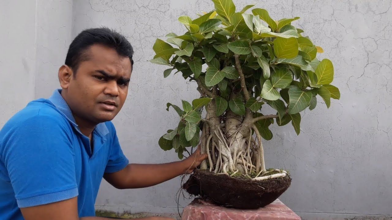 How To Repot And Pruning Bonsai Banyan Tree Banyan Tree Bonsai Bonsai Care Bonsai