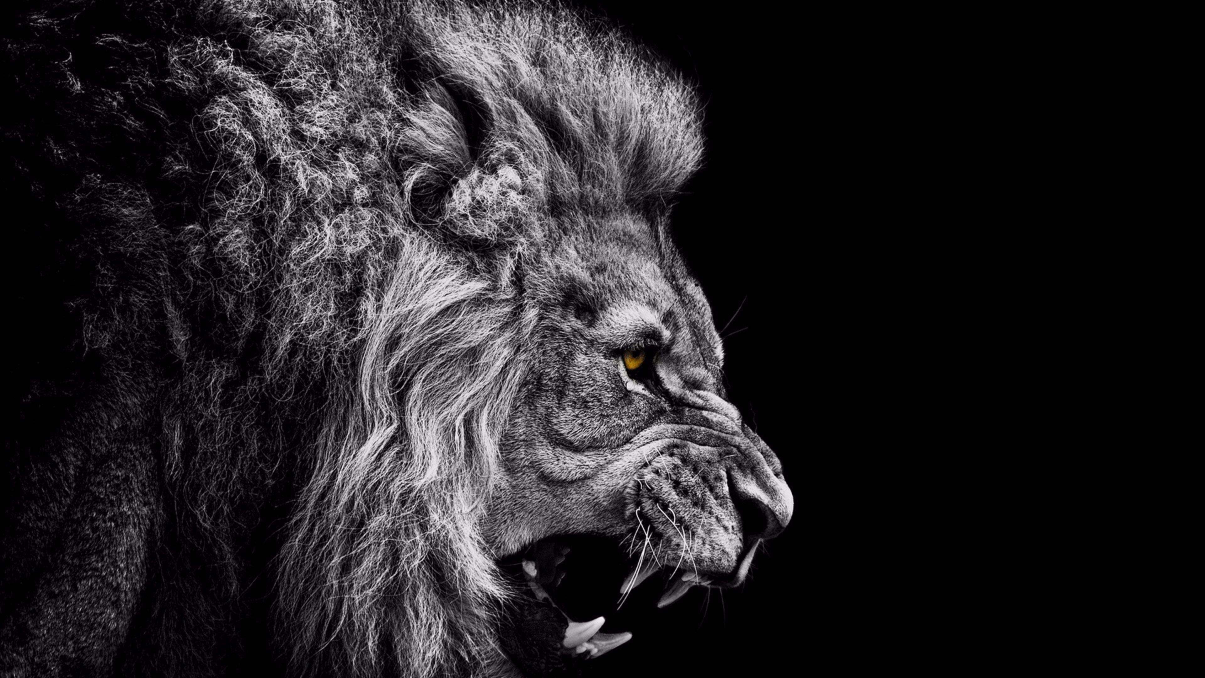 3840x2160 Black And White Lion 4k Wallpaper Free 4k
