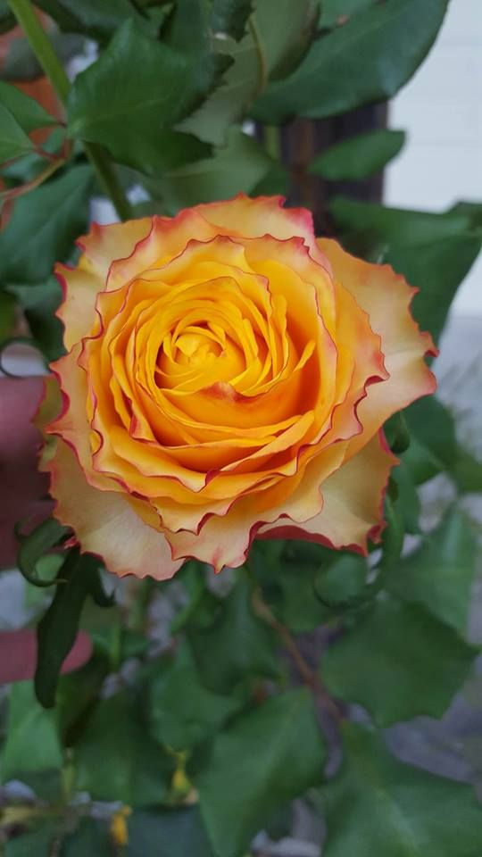 Taken by Veronica Halliday - Tequila Sunrise Rose