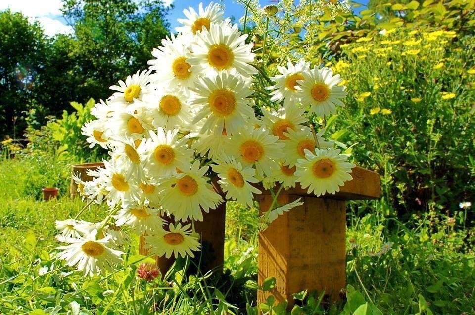 Shasta Daisy a Perennial,symbolizes innocence & hope. One