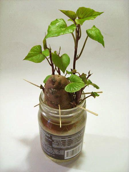 How To Grow Sweet Potato Vine Indoors Growing Sweet Potatoes