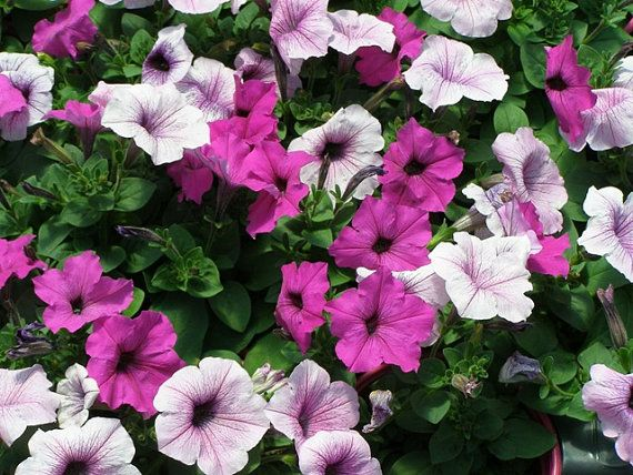 Easy Wave Plum Pudding Mix Petunia Seeds High Quality