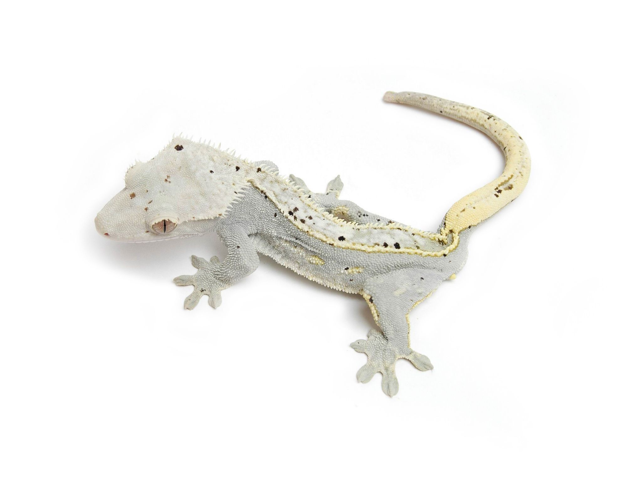 MoonGlow crestie. From the urban gecko. I want this beauty too ...