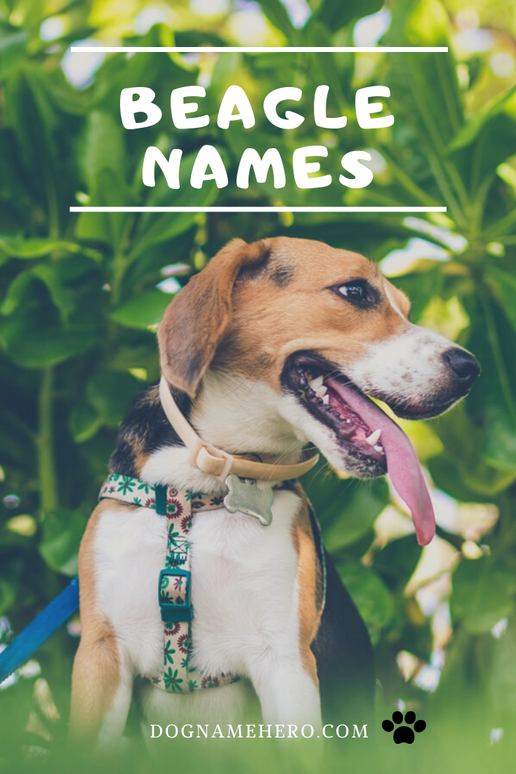 Beagle Names 100 Names For Beagle Puppy in 2020 (With