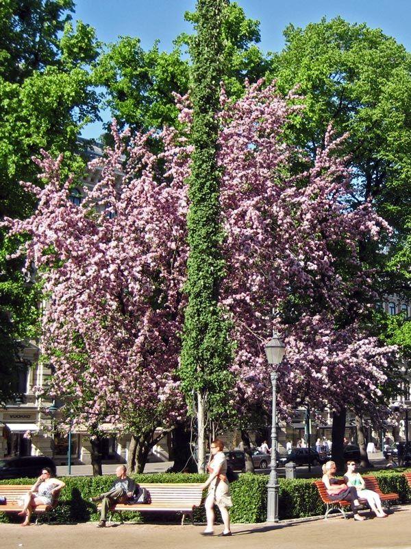 Koristeomenapuu 'Nipissing'