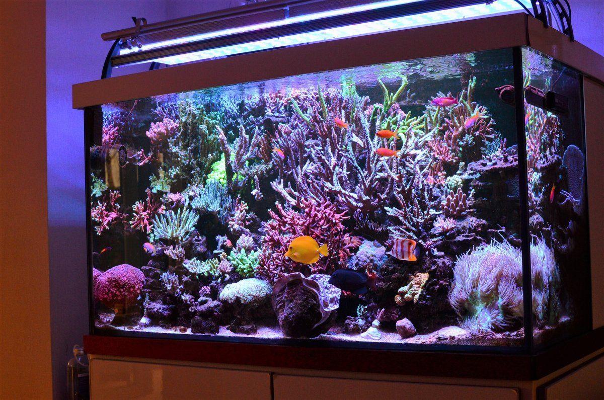 Pin On Saltwater And Reef Aquarium Corals