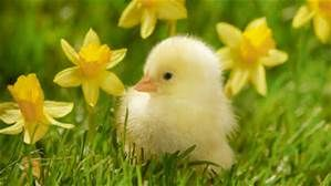 spring daffodils images - Bing images