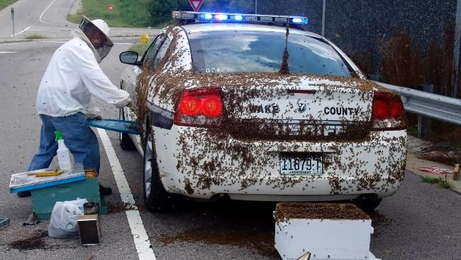 Google Image Result for http://resources0.news.com.au/images/2010/08/19/1225907/124764-bee-attack-on-police-car.jpg