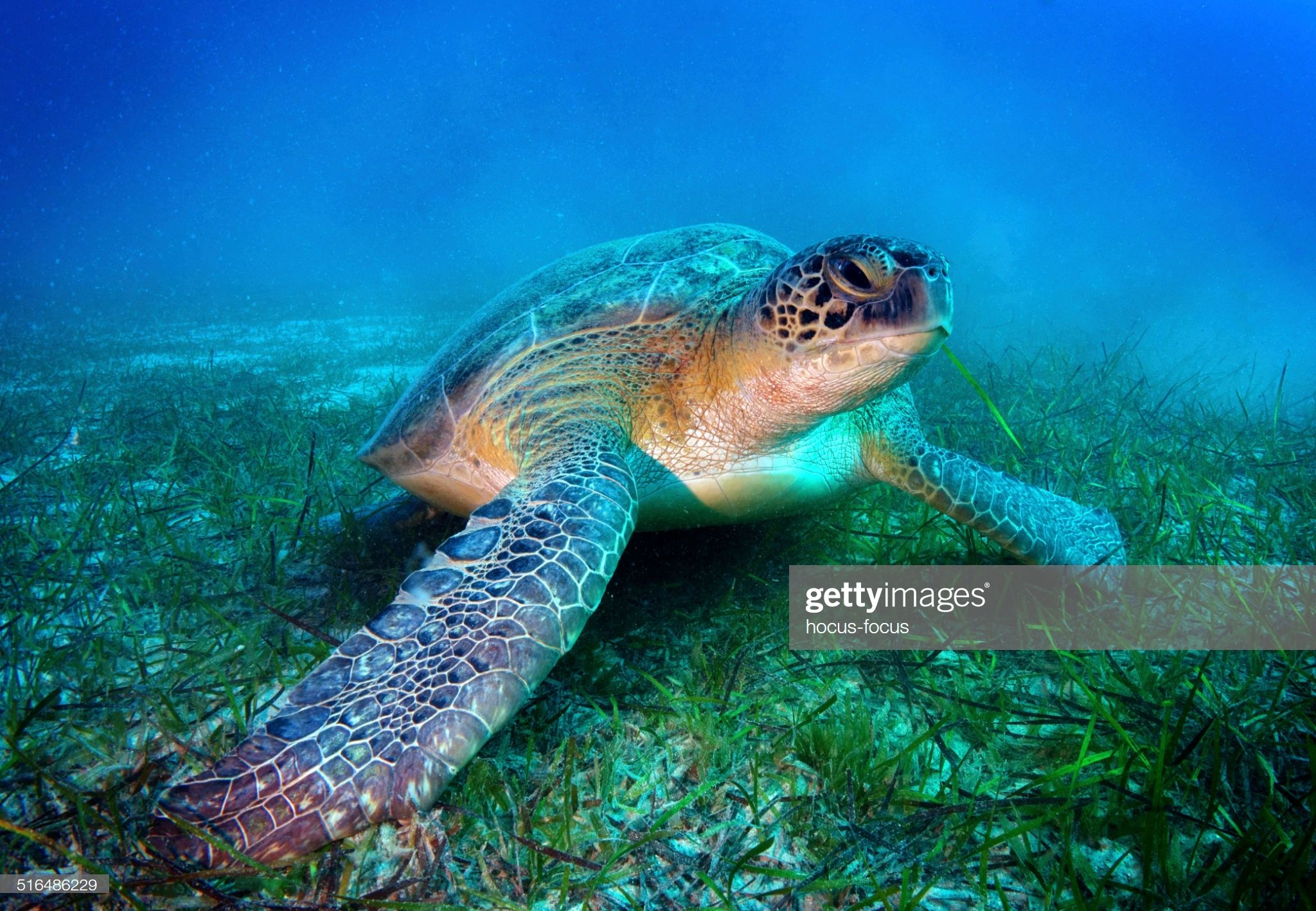 Sea Turtle Underwater Shot In