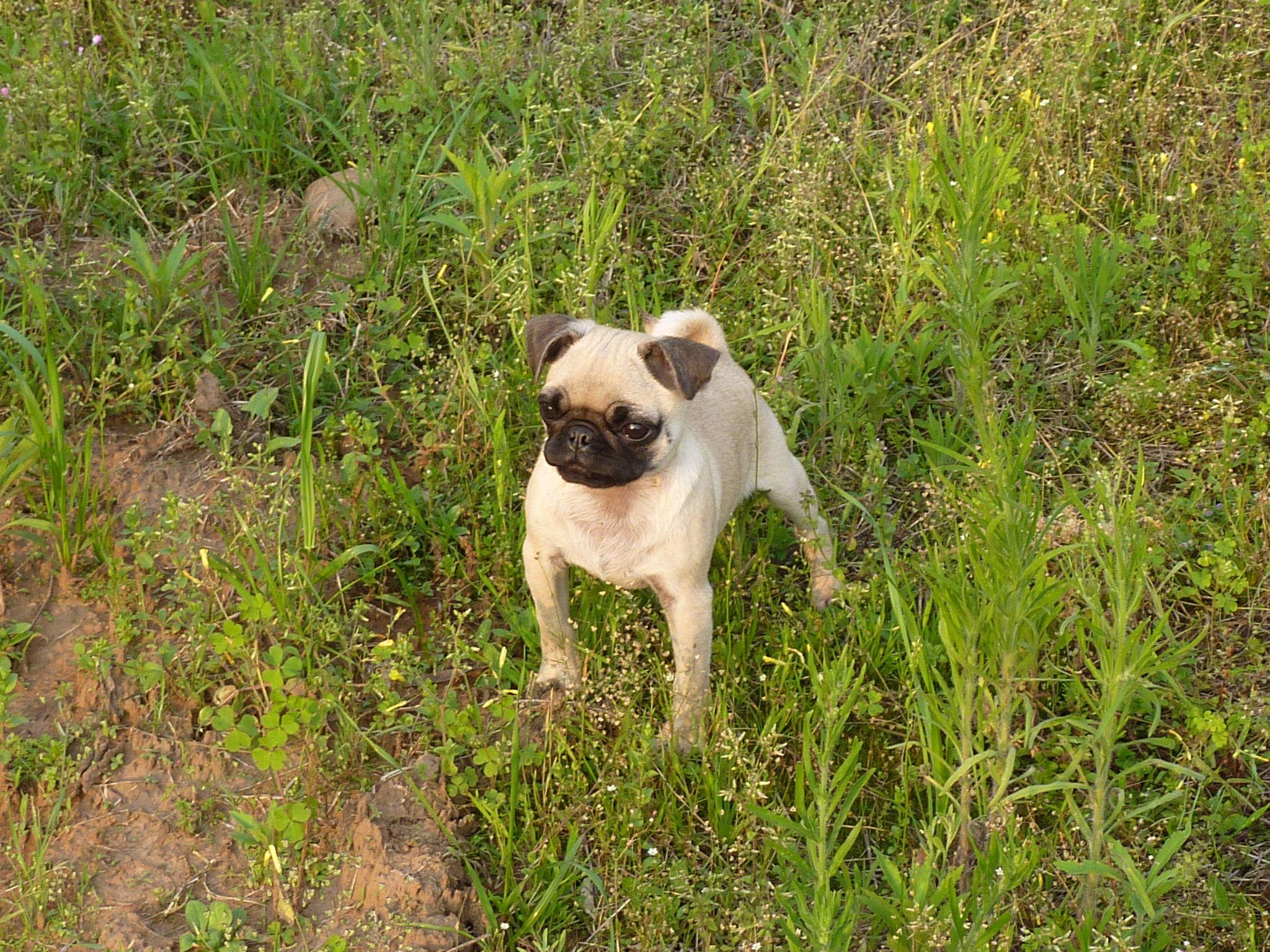 pug we have 2, Arizona and Jersey Pets, Animals, Pugs
