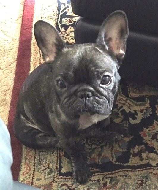 French Bulldog Dog For Adoption In Katy Tx Adn 501478 On