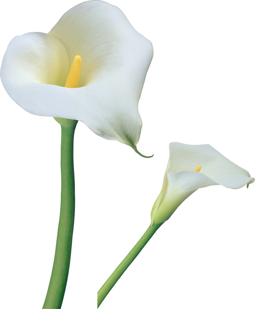 transparent calla lilies flowers png clipart flores de. Black Bedroom Furniture Sets. Home Design Ideas