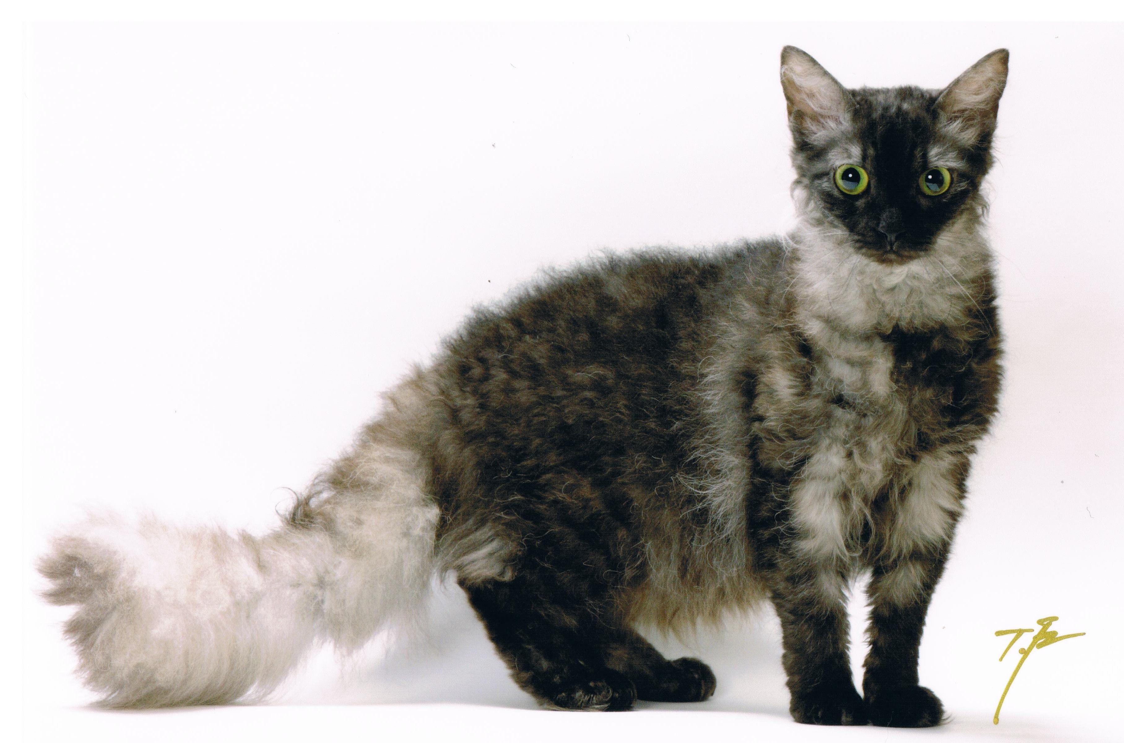 Breed Profile The Laperm Cat Breeds Cat Breeds Chart Cat Breeds Ragdoll