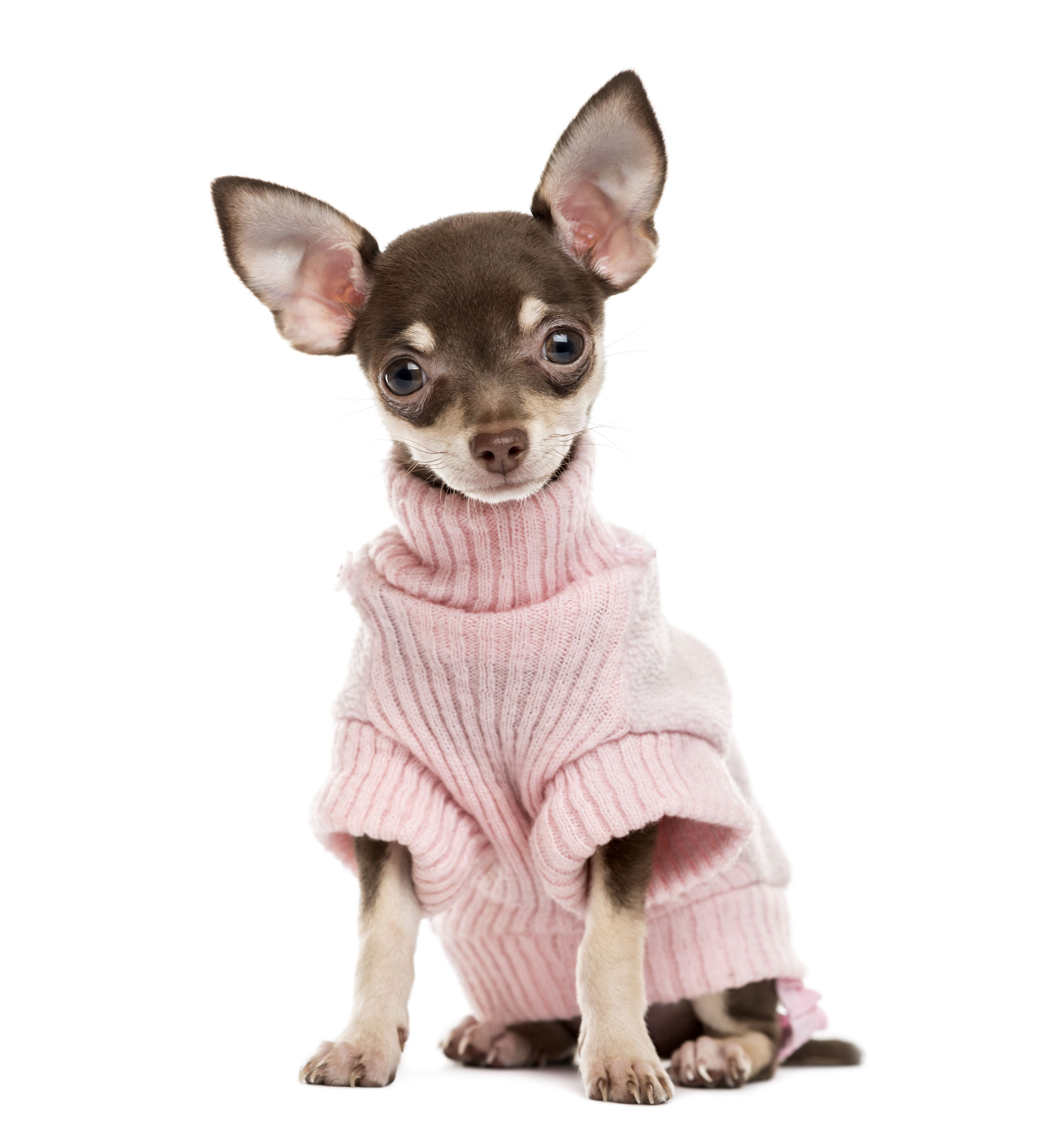 Adorable Pictures Of Chihuahua Puppies Female Dog Names