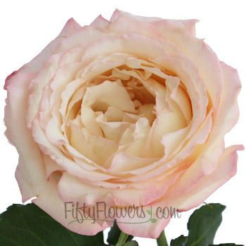 Like-A-Virgin-Garden-Rose1-350_b4623178.jpg.cf.jpg 350×350 pixels