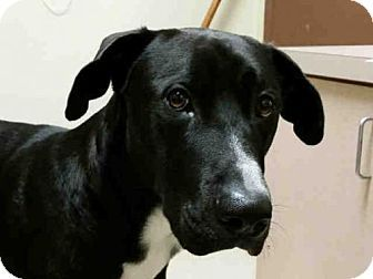 Rogers Ar Great Dane Mix Meet Hugo A Dog For Adoption Http