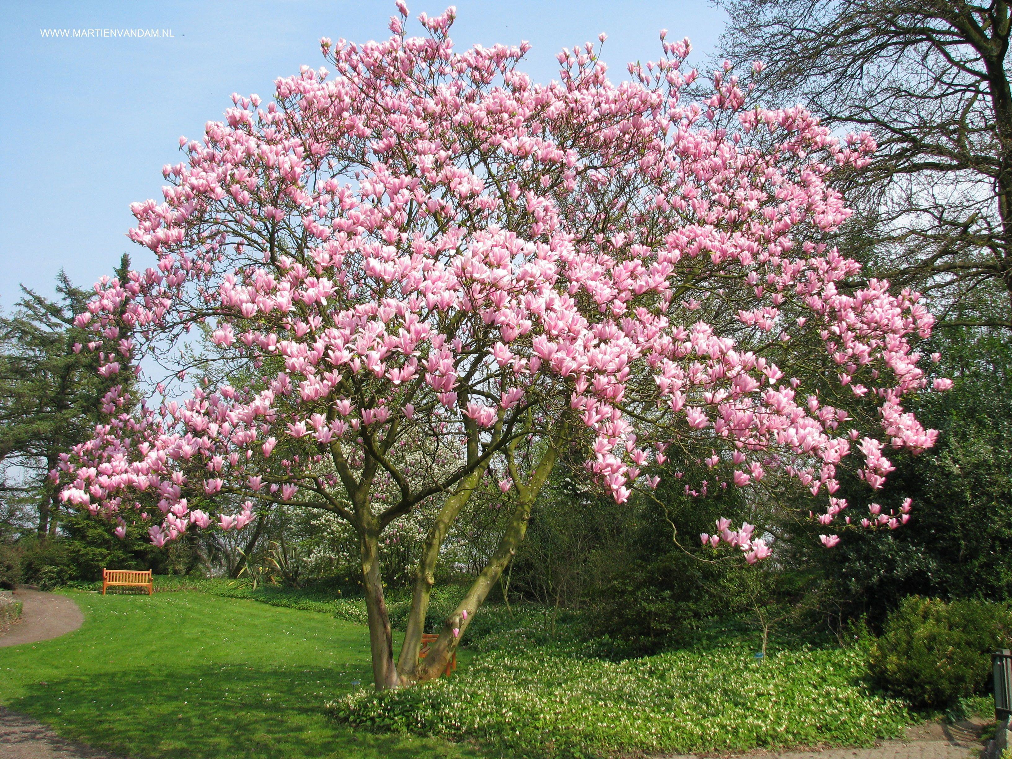 magnolia als meerstammige boom bloeit in april voor de. Black Bedroom Furniture Sets. Home Design Ideas