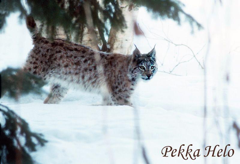 La Finlande veut réduire sa population de lynx pour faire