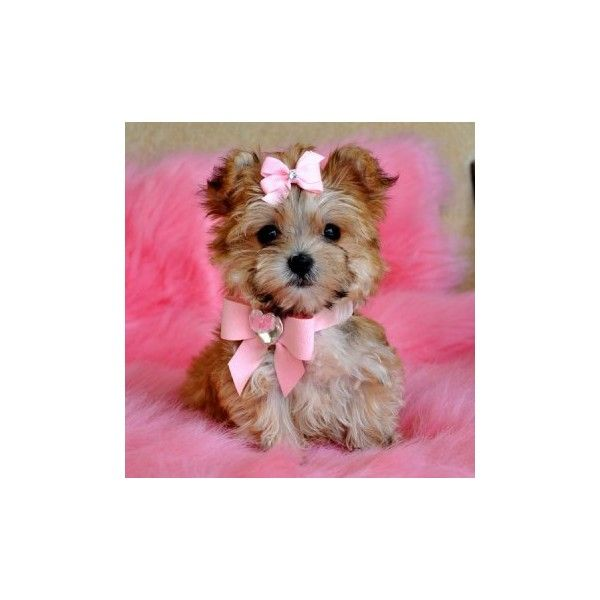 Teacup Puppies For Sale Teacup Yorkie Puppies For Sale Teacup Maltese Puppies For Sale Teacup Morkies Teacu Teacup Yorkie Puppy Cute Animals Morkie Puppies