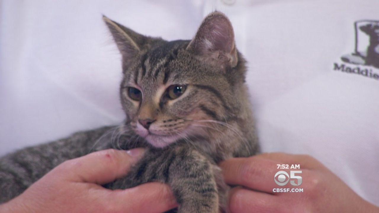 Latest Pets Videos Tabby Kitten Kitten Tabby
