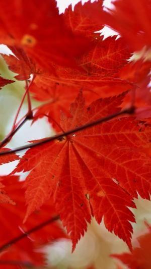 Leaves Maple Dry Autumn Automne Telecharger Le Fond D Ecran 1080x1920 Telephones Mobiles Apple Iphone Fond Ecran Fond D Ecran Portable Apple Iphone 6