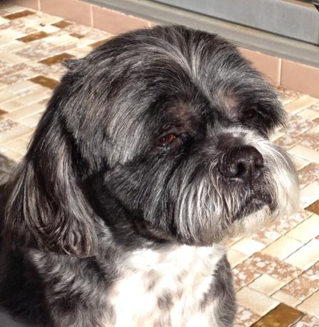 Reunited Dog Buckley Black Grey Shih Tzu X Dural Nsw