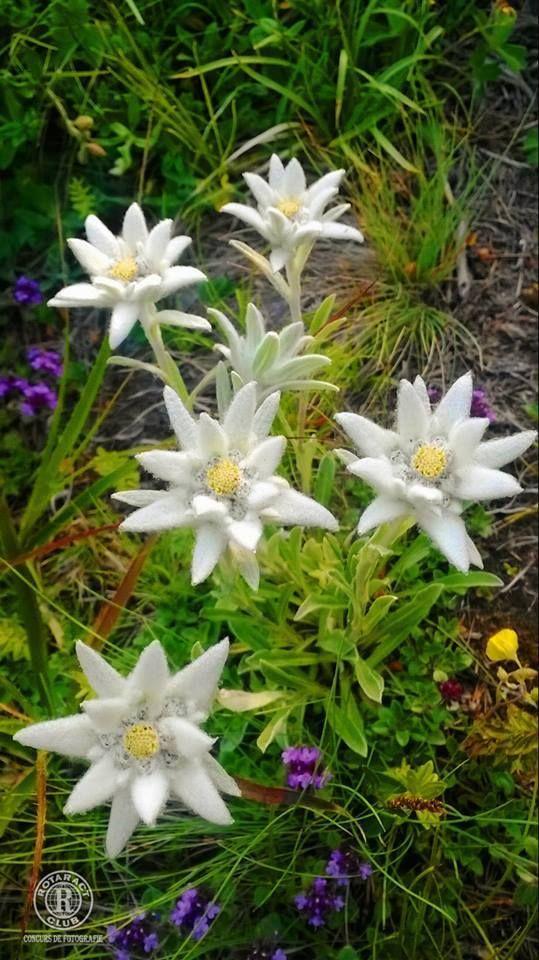 Fiori Selvatici Bianchi.Flori De Colț Pe Masivul Ceahlău Bellissimi Fiori Fotografia