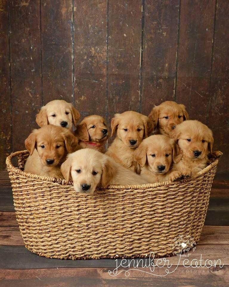 Rob Smith On Puppies Retriever Puppy Cute Dogs