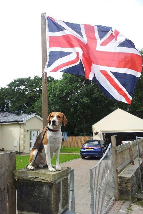 Britain Beagle Beagle Dogs Dog Breeds