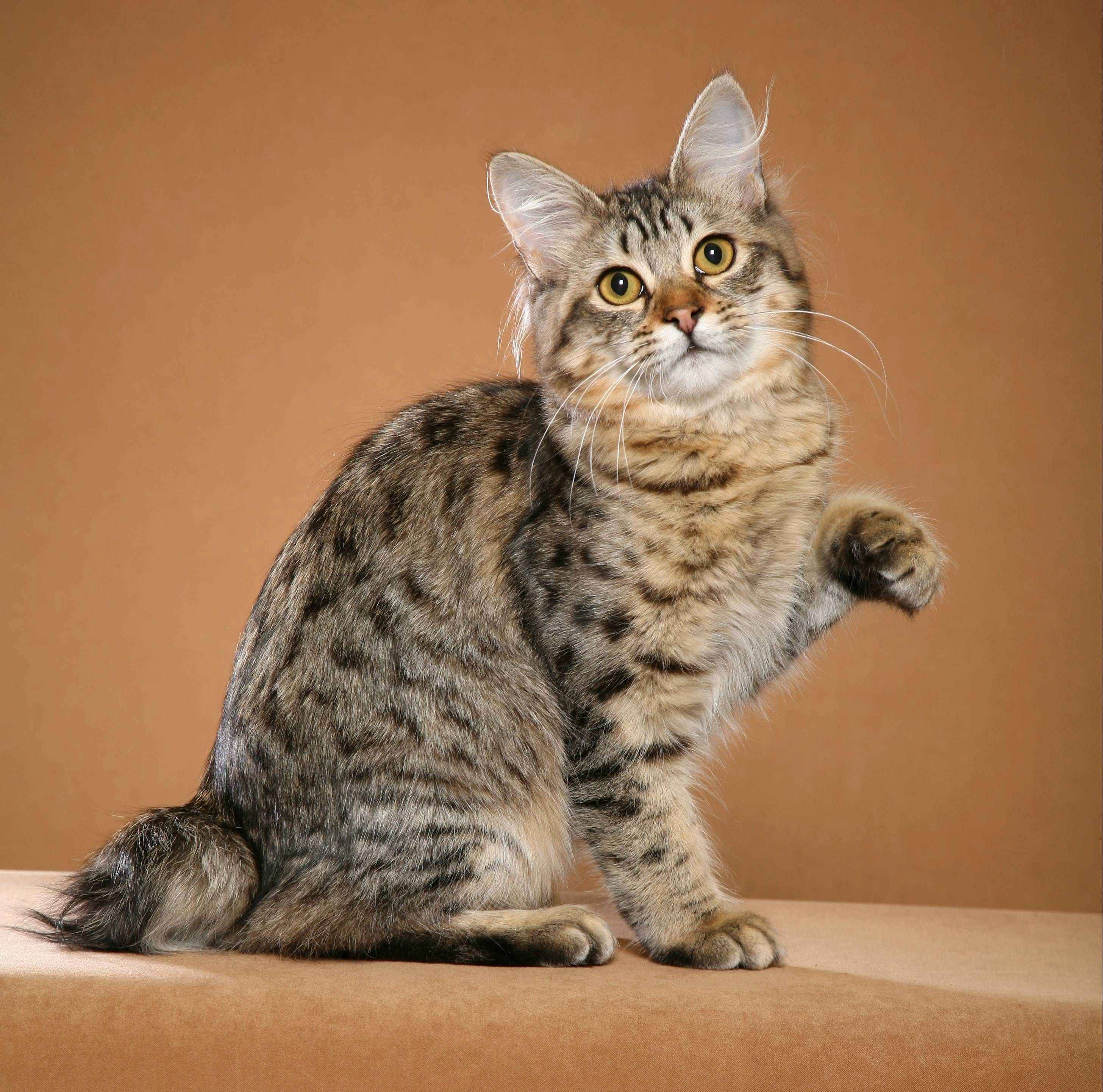 The American Bobtail Is An Uncommon Breed Of Domestic Cat Which Was Developed In The Late 1960s It Is American Bobtail Cat Bobtail Cat American Shorthair Cat
