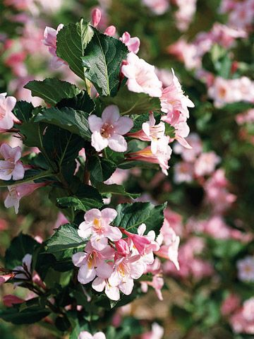 Weigela Florida Polka Is A Vigorous Shrub That Grows 5 Feet Tall And Wide Features Yellow Throat Pink Flowers Continuously From Early Summer