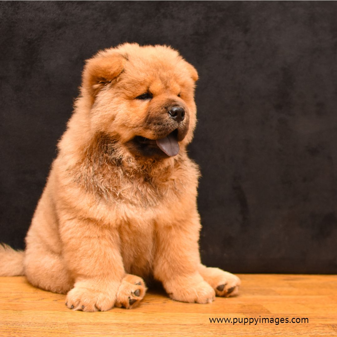 Purebred Red Chow Chow With Images Chow Chow Puppy Puppy Dog