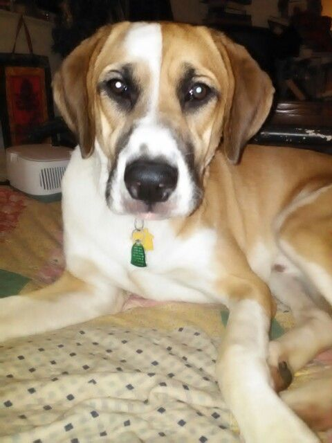 Kreecher 8 Months Old Boxer X Pyrenees Mix Service Dog In
