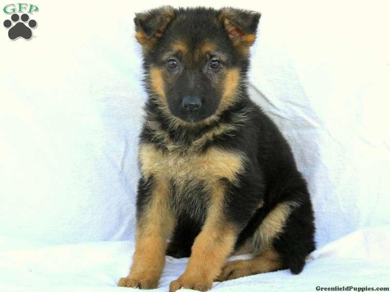 Jasmine german shepherd puppy for sale from honey brook
