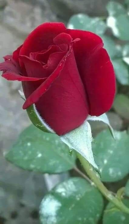 LOVE is a Red Rose