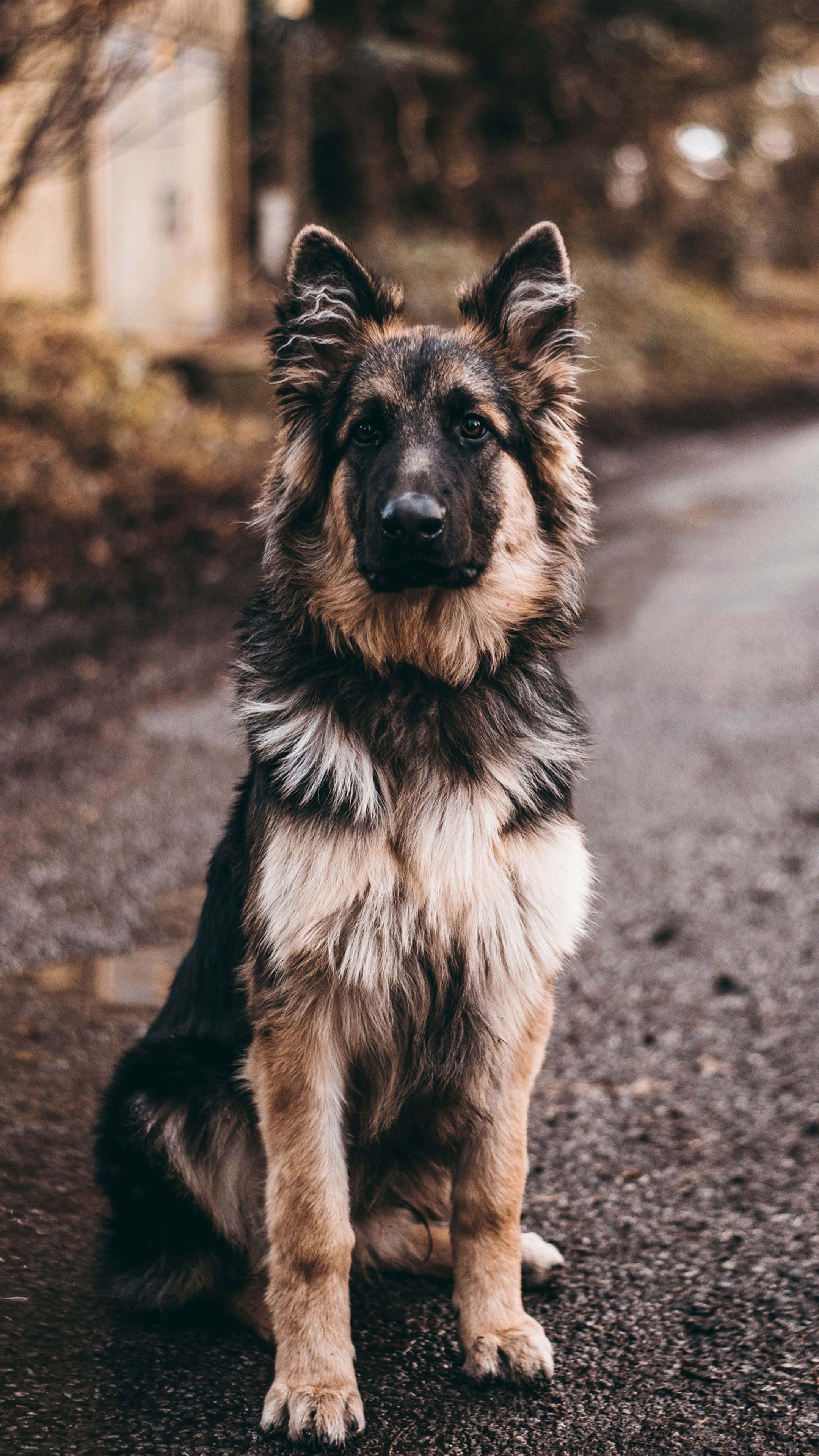 German Shepherd Dog Sits 4k Ultra Hd Mobile Wallpaper In 2020 Dog Background German Shepherd Dogs Dogs