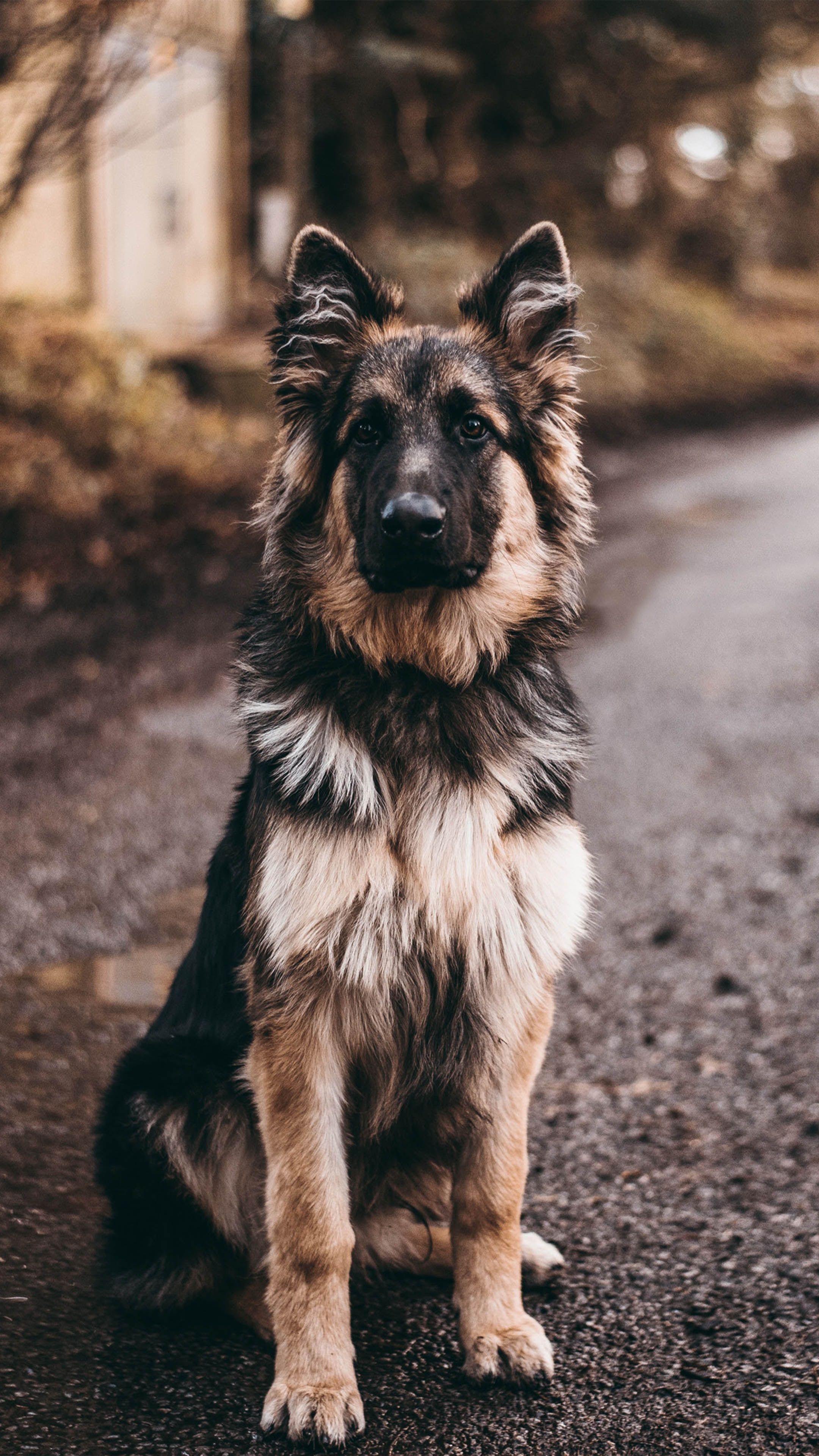 German Shepherd Dog Sits 4k Ultra Hd Mobile Wallpaper In 2020 Dog Background German Shepherd Wallpaper Dogs