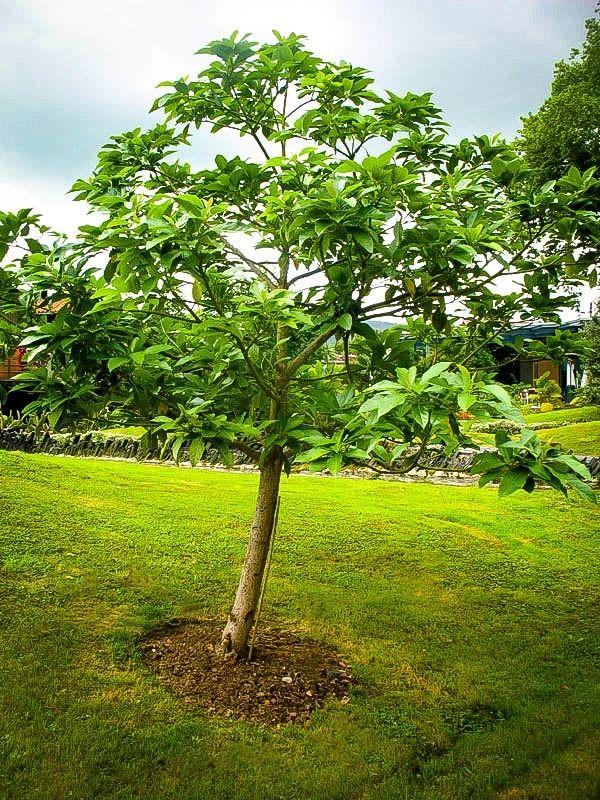 Cold Hardy Avocado Avocado Tree Care Avocado Tree Planting Avocado Tree