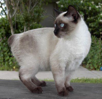 Manx Siamese Cat Breeds Siamese Manx Kittens Manx Cat