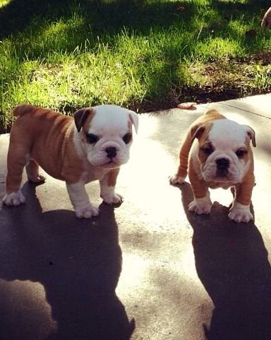 Bulldogs English Bulldog Englishbulldog Bulldogs Breed Dogs