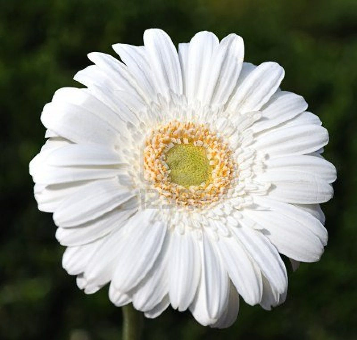 Primer Plano De Una Flor Blanca Gerbera Gerbera Flower Gerbera Flowers