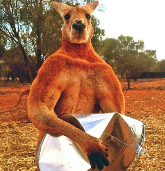 Don't mess with Roger, the muscle-bound kangaroo who can crush metal with his bare hands