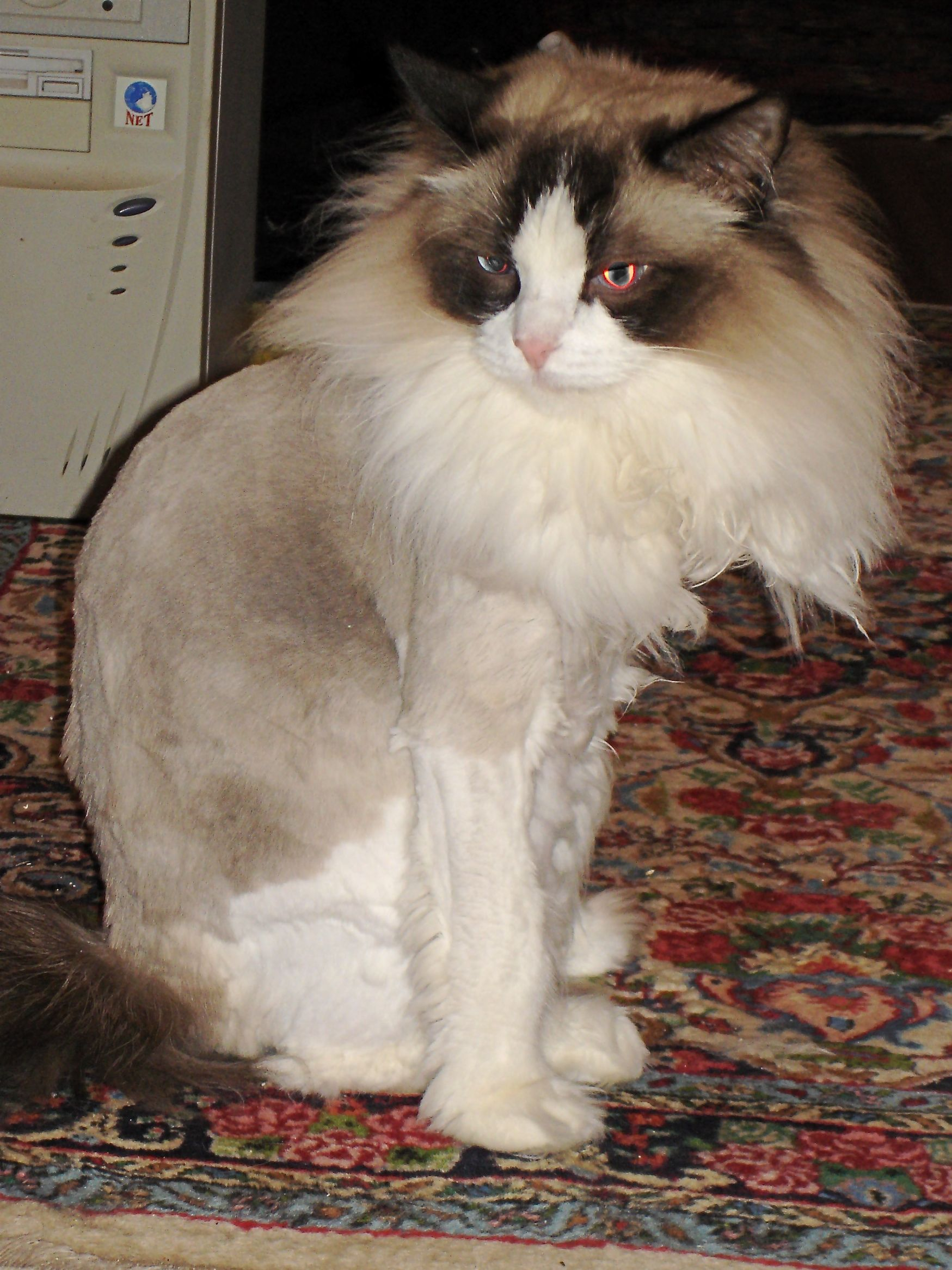 Ragdoll Cats with Lion Cuts Click here to stop your cats from spraying.