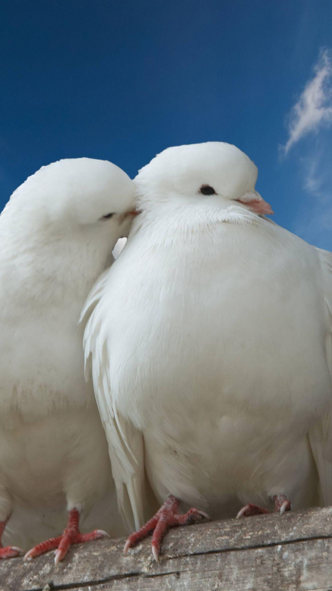 Doves Couple Rose Sky Love Beautiful Birds Birds Bird Wallpaper
