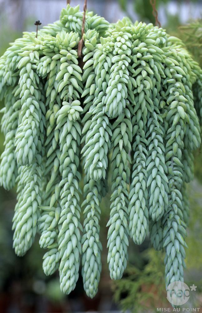 Les orpins font de succulentes couvertures v g tales qui for Plante grasse exterieur rustique