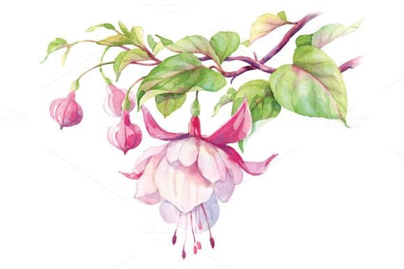 Watercolor Fuchsia Flower Watercolor Flowers Botanical Painting Flower Art